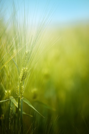 wheat: Young green barley crops growing in cultivated field, crop protection concept, selective focus