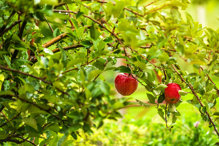 homegrown: Red apples on branch in orchard, organic homegrown fruit on tree.