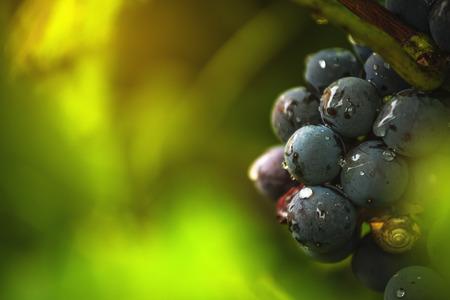 VID: uvas de vino en la viña después de la lluvia, de cerca los detalles con el enfoque selectivo
