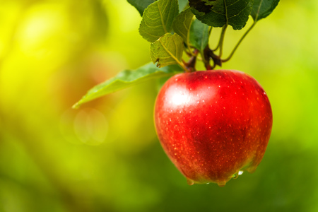 homegrown: Red apple on branch, organic homegrown fruit in apple orchard.