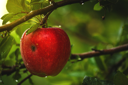 homegrown: Organic red apple on branch, homegrown fruit in apple orchard after rain Stockfoto