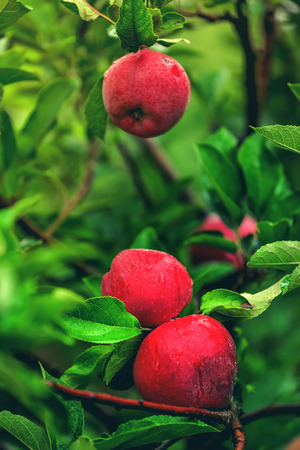 home grown: Three red apples on branch, organic home grown fruit in apple orchard after rain