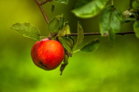 manzana roja: manzana roja en rama, fruta de cosecha propia orgánica en huerto de manzanas. Foto de archivo