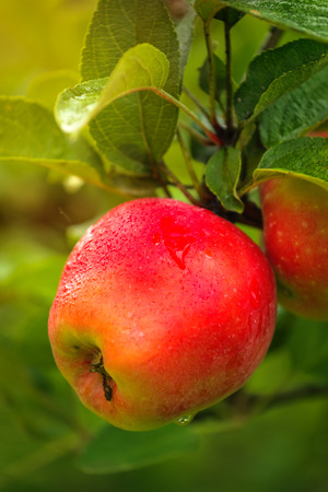 homegrown: Wet red apple on branch after rain, organic homegrown fruit in apple orchard. Stockfoto
