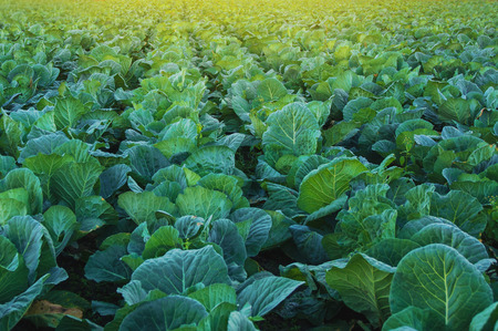 organic food: Collard green field landscape in sunset