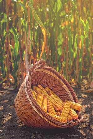 monoculture: Harvested corn in wicker basket, freshly picked maize ears out in agricultural field, selective focus