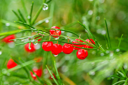 fir twig: Christmas fir twig with red berries, winter holiday background, selective focus Stock Photo