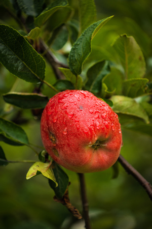 homegrown: Red apple after rain, organic homegrown fruit in apple orchard. Stockfoto