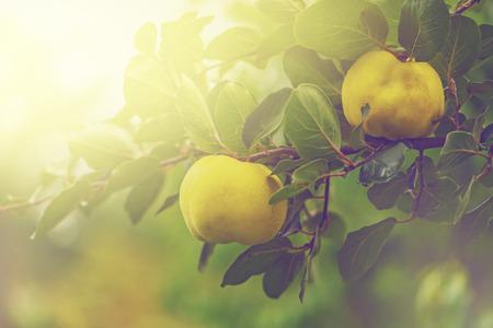 membrillo: retro tonos de membrillo en la rama en la huerta de fruta orgánica, enfoque selectivo
