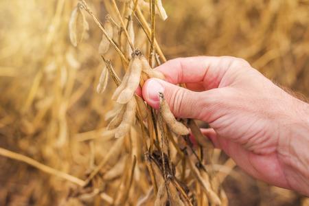 Farmer hand in harvest ready soy bean cultivated agricultural field, organic farming soya plantation