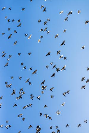 palomas volando: Bandada de palomas volando en el cielo azul de invierno