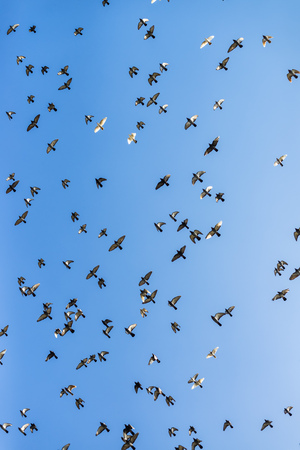 Flock of pigeons flying across the blue winter sky