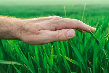 cultivo de trigo: concepto de protección de cultivos en la producción agrícola, la mano del agricultor sobre plantas jóvenes verdes de trigo en campo cultivado. Foto de archivo