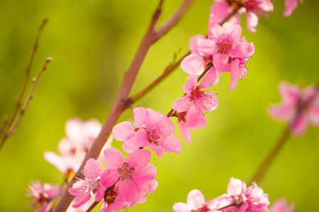 peach tree: Peach tree branch blossoming in spring, selective focus