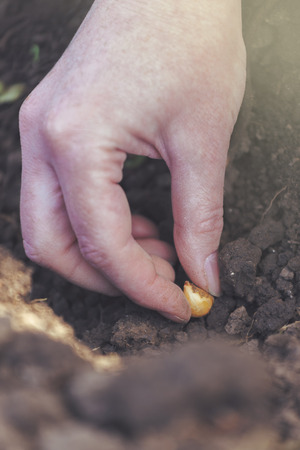 working hands: Woman seeding onions in organic vegetable garden, close up of hand planting seeds in arable soil.