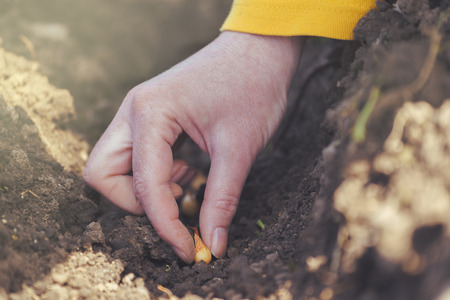 seeding: Woman seeding onions in organic vegetable garden, close up of hand planting seeds in arable soil.