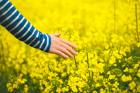 touch: Female hand touching gentle blooming rapeseed crops, woman agronomist walking through the field of blossoming cultivated oilseed rape plantation, concept of responsible growth and crop protection.