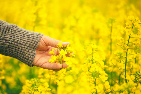 Male hand touching gentle blooming rapeseed crops, man agronomist walking through the field of blossoming cultivated oilseed rape plantation, concept of responsible growth and crop protection. Stock Photo