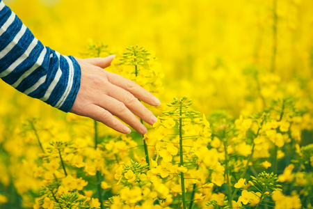 agronomist: Woman agronomist walking through the field of blossoming cultivated oilseed rape plantation and touching gentle blooming rapeseed flower, concept of responsible growth and crop protection. Stock Photo