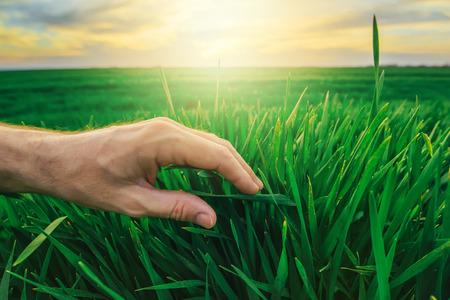 cultivo de trigo: Trigo concepto de protección de cultivos en la producción agrícola, la mano del granjero acaricia jóvenes las plantas verdes en campo cultivado en la puesta del sol.
