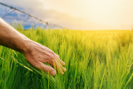 Farmer touching green wheat plants in irrigated cultivated field, hand over crops, sunlight in background, selective focus Banque d'images