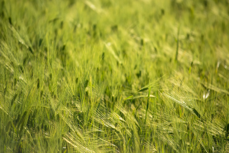 cereal plant: Green barley field, selective focus