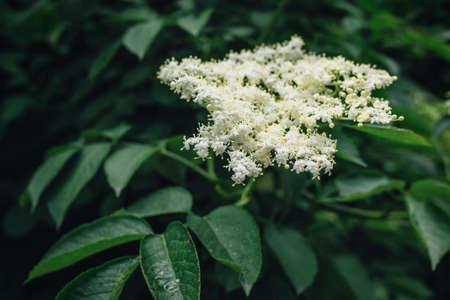 elder tree: Blooming elder plant tree in spring, selective focus