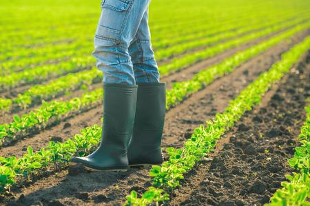Landbouwer die zich in soja planten rijen in gecultiveerd gebied, landbouw soja veld in zonsondergang Stockfoto