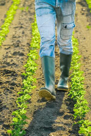 field crop: Unrecognizable male farmer walking through soybean plants rows in sunset