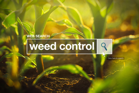 internet browser: Weed control in internet browser search box, maize field in background Stock Photo