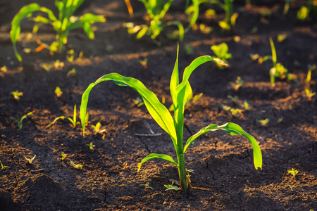 row: Weed control in corn crops, young maize plants rows in cultivated field.