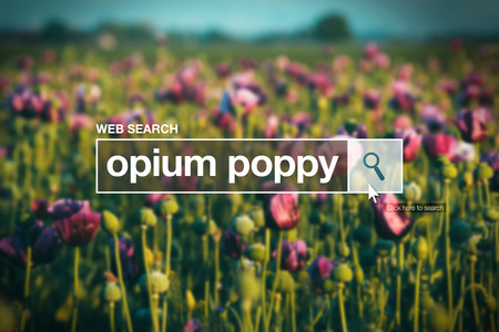 internet browser: Opium poppy in internet browser search box, cultivated field in background