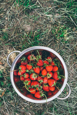 homegrown: Bowl with freshly picked homegrown organic strawberries in garden Stock Photo