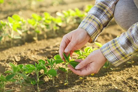 콩 필드, 책임 농업 및 전용 농업 작물 보호, 콩 식물 성장 제어, 선택적 포커스에서에서 여성 농부의 손.