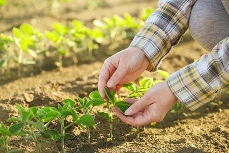 Weiblicher Landwirt, seine Hände in Soja-Feld, verantwortlich Landwirtschaft und engagierte landwirtschaftliche Pflanzenschutz, Sojapflanzen Wachstumskontrolle, selektiven Fokus. Standard-Bild - 58519203