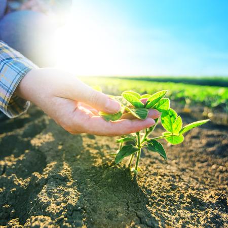 女性農家の大豆畑、責任ある農業と専用農業作物保護、大豆豆植物成長制御、セレクティブ フォーカス手.