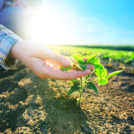 handen vrouwelijke boer in soja veld, verantwoordelijk landbouw en toegewijde bescherming van landbouwgewassen, soja bonen planten groei controle, selectieve aandacht.