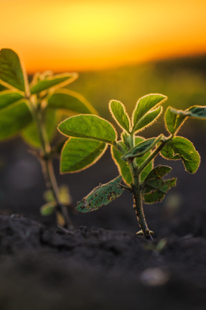 Soybean plants in sunset, soy bean rows in agricultural field, selective focus Stock Photo