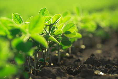 Young soybean plants growing in cultivated field, soybean rows in agricultural field in sunset, selective focus