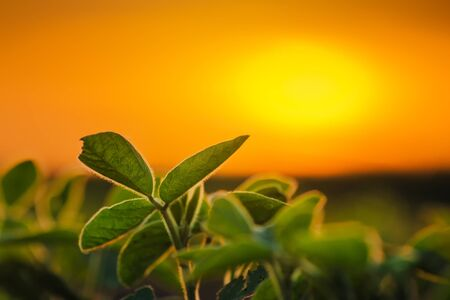 land plant: Soybean plants in sunset, soy bean rows in agricultural field, selective focus Stock Photo