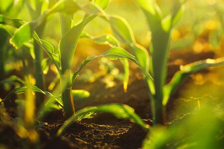 details: Corn crops growing oin field, sunlight flare, selective focus
