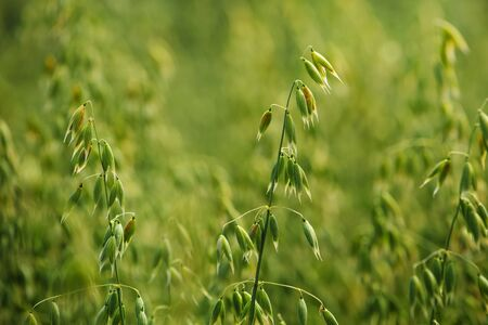 cereal plant: Oat field detail, green crops growing in cultivated field