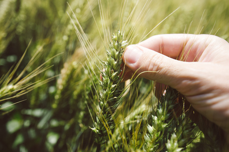 cereal plant: Hand in wheat field, close up of fingers holding cereal crop plant Stock Photo