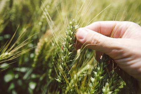 cultivo de trigo: Hand in wheat field, close up of fingers holding cereal crop plant Foto de archivo