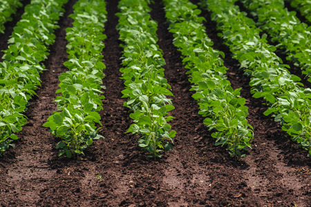 spacing: Rows of cultivated soy bean crops in field