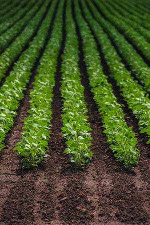 soy bean: Rows of cultivated soy bean crops in field