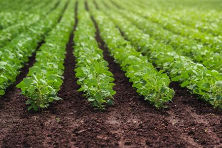 フィールドに培われた醤油豆作物の行 写真素材