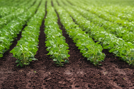필드에서 재배 대두 작물의 행
