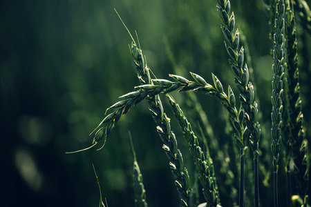 hulled: Green spelt wheat crops growing in cultivated field, hulled wheat is a species of wheat cultivated since 5000 BC.