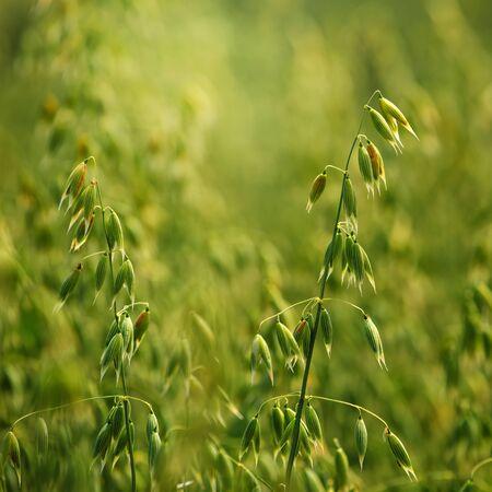 avena: Detalle del campo de avena, cultivos verdes que crecen en el campo de cultivo